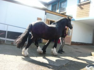5154 childs picture of a shire horse at the farm