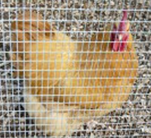 5153 childs photo of a chicken on the farm